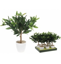 Small Olive Tree In Pot, 43cm