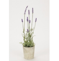 A charming rustic lavender plant with pot. A lovely decorative item for the home.